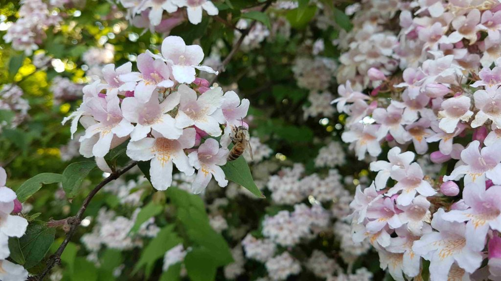 Gärten und Bienen – Die Bedeutung von Gärten für Wild-/Honigbienen und andere Insekten
